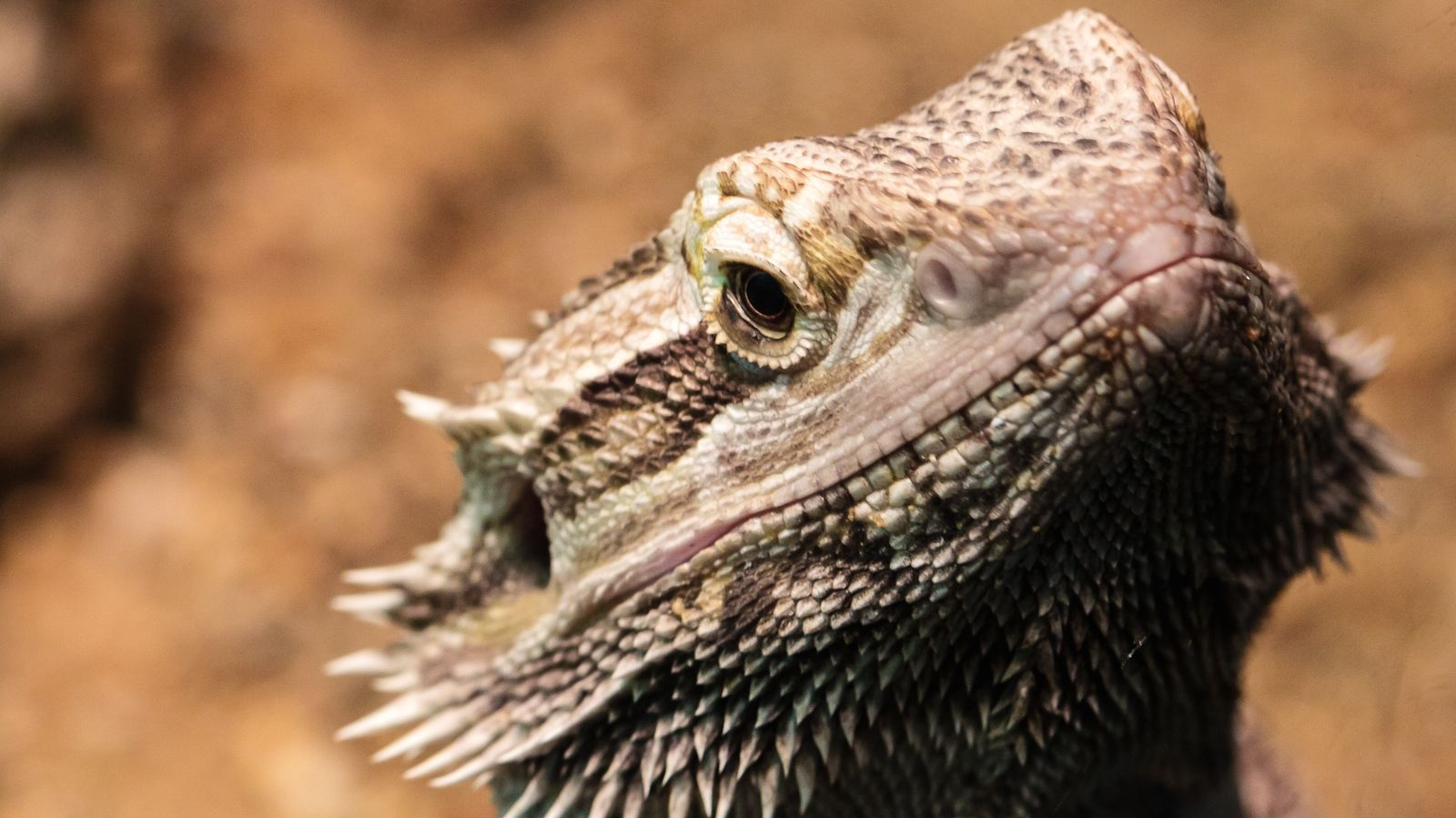 beardedlizard