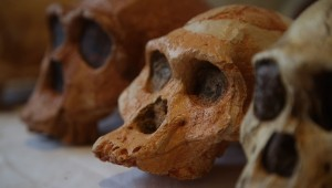 australopith-early-hominin-skulls