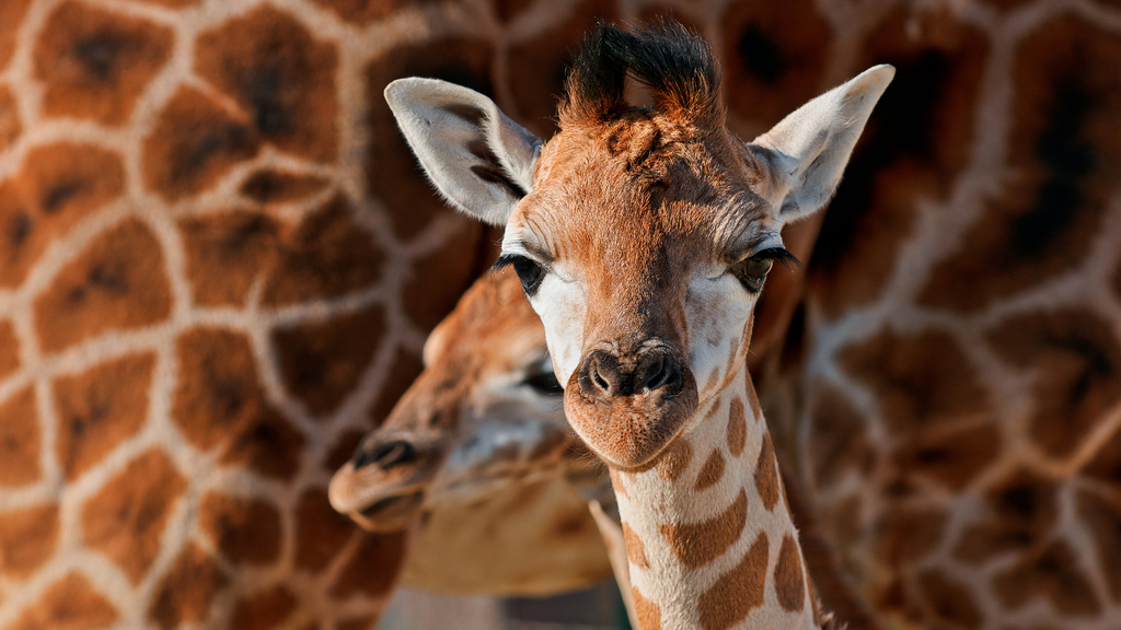 giraffe_1024x576