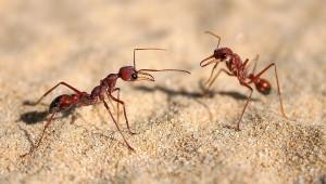Communication_in_bulldog_ants_(Myrmecia_nigriscapa)_Sydney,_Australia