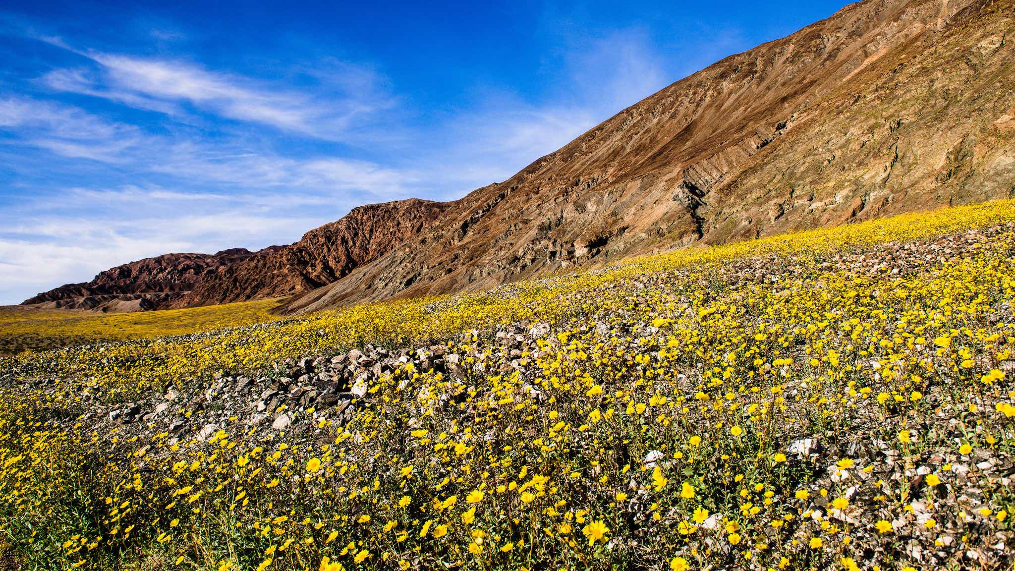 Death valley is now exploding with color thanks to a freak october super bloom flowers bring color today to death valley mightylinksfo