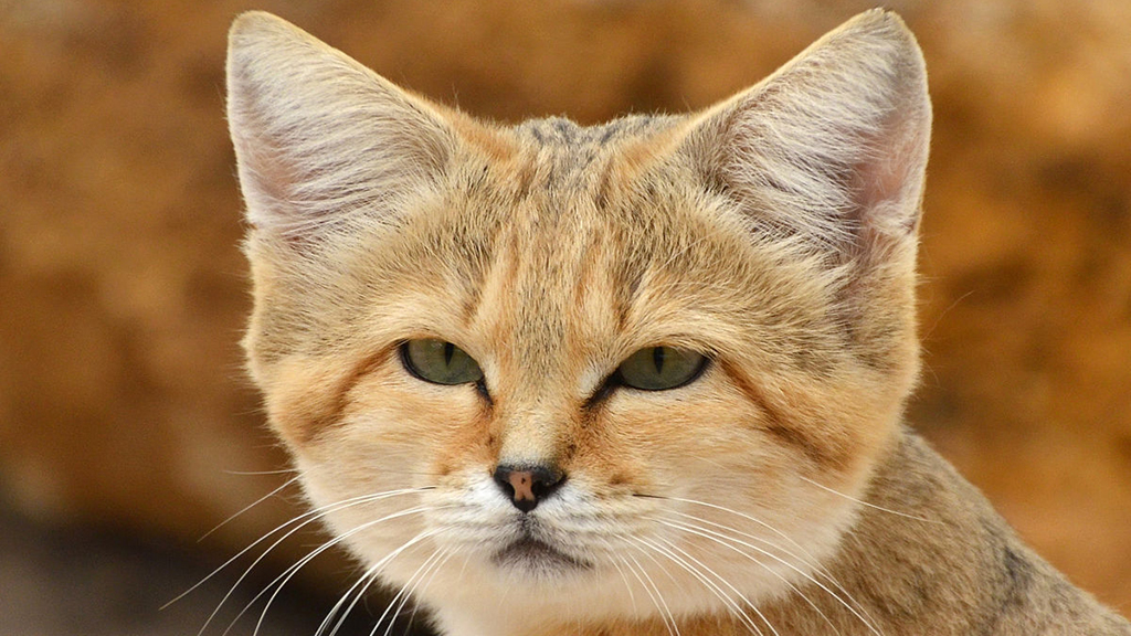 the fierce but forgotten sandcat makes a comeback after 10 years