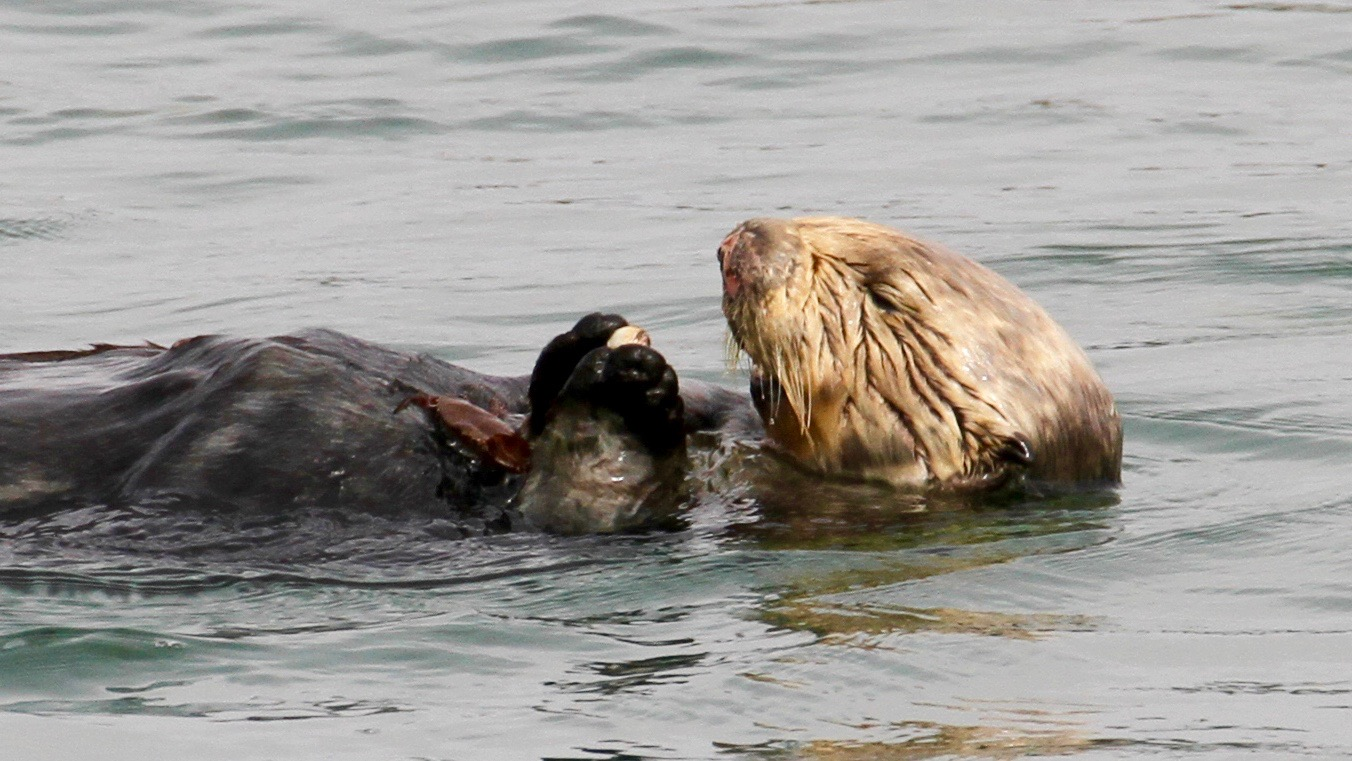 sea otters have been using tools for millions of years nova next pbs