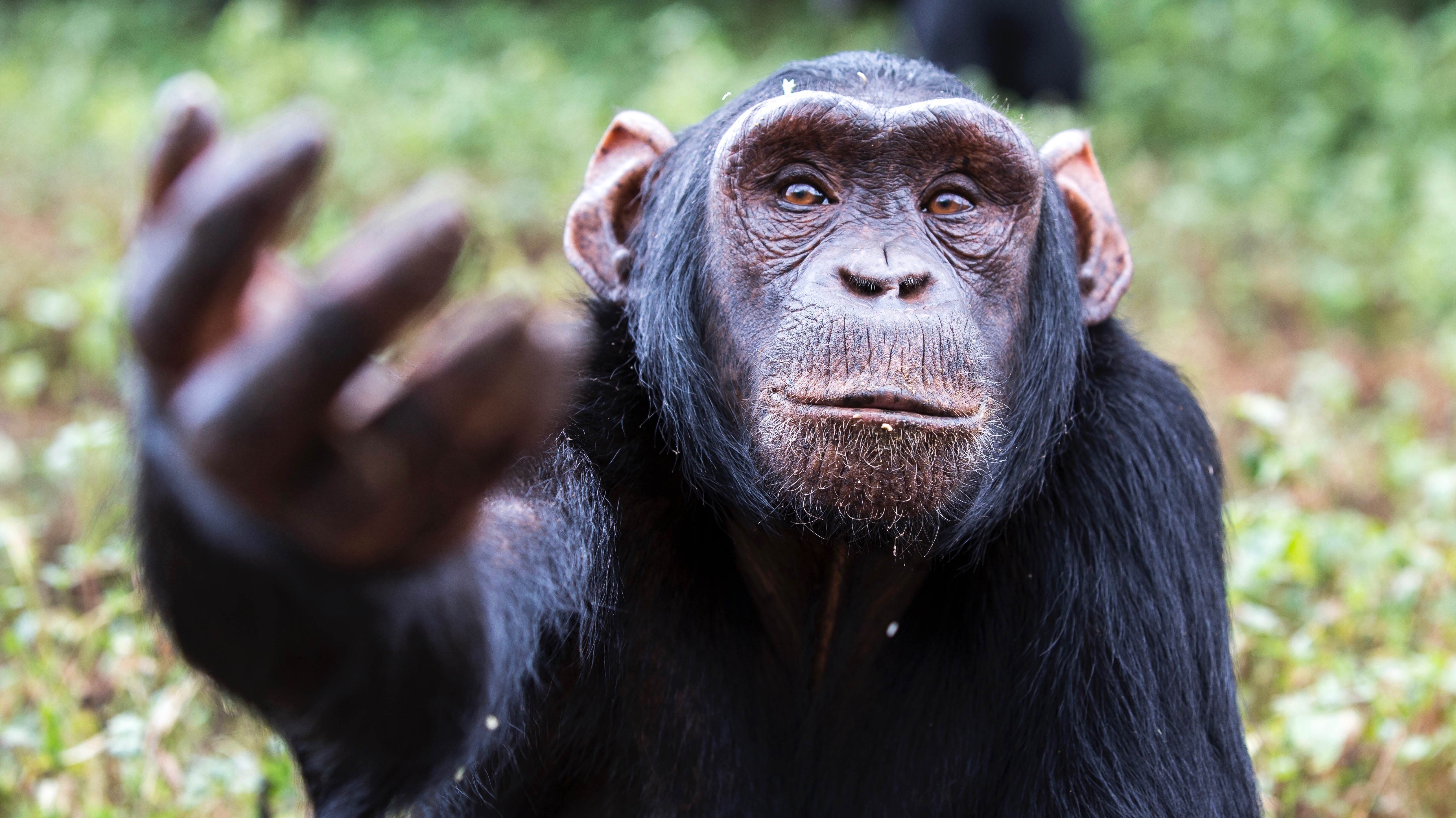 Chimps Play Rock-Paper-Scissors Like a Four-Year-Old Human — NOVA Next | PBS
