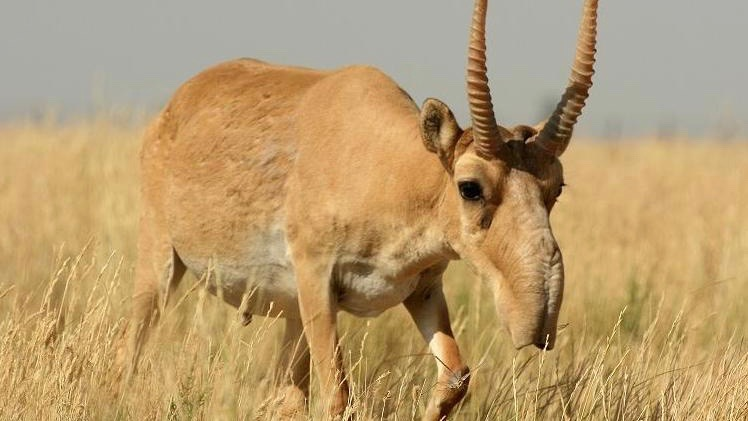 Scientists Believe Environmental Changes Killed Majority Of Antelope Population
