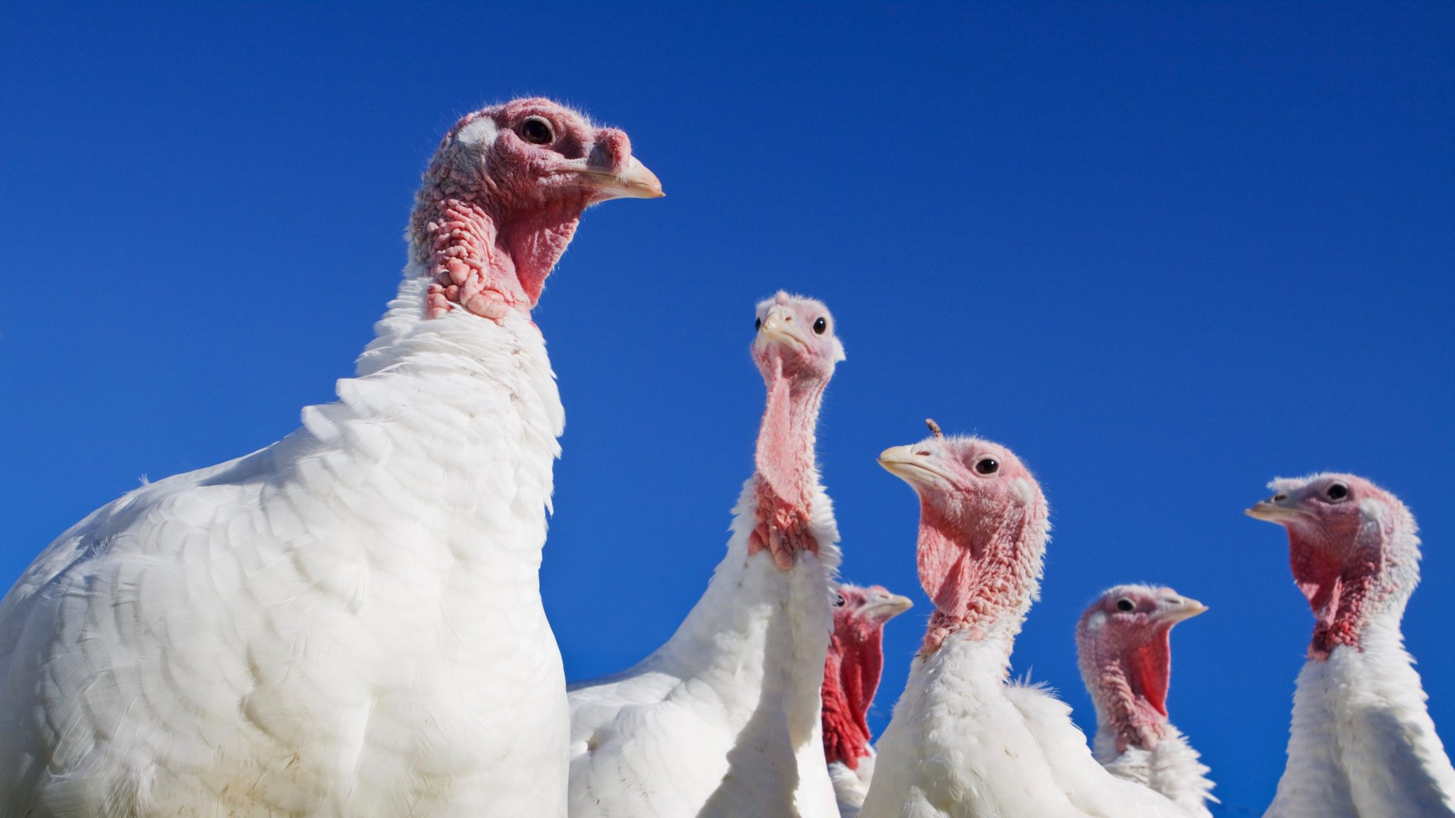 Six turkeys against a blue sky