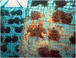 Pearl oyster cages in Ago Bay