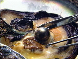A black pearl emerges from an oyster