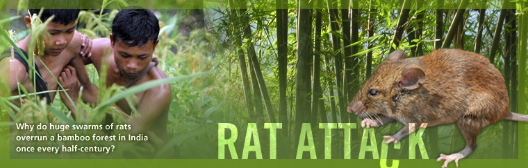 Rat Attack: Why do huge swarms of rats overrun a bamboo forest in India once every half-century? Airs on PBS February 24, 2009