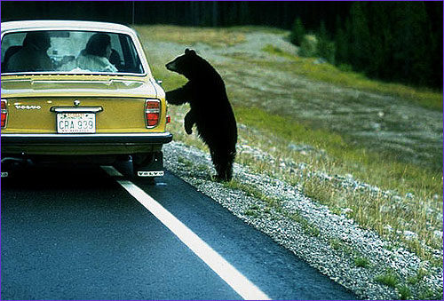bear and car