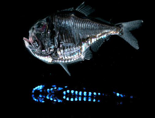 Hatchetfish bioluminescence - photo#1