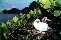 Red-footed booby and chick