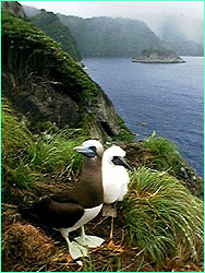 Brown booby and nestling, with a rainy Cocos in the background.