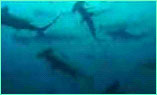 School of hammerheads at Alcyone dive site, Cocos Island.