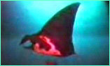 With the grace of a Balinese dancer, a Pacific manta rays glides over our heads at Alcyone.