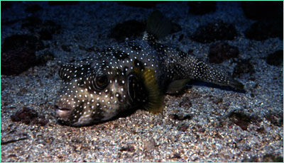 Spotted green pufferfish