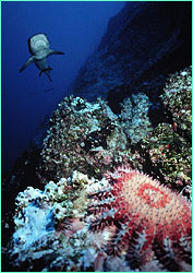 Whitetip reef shark beyond crown-of-thorns starfish