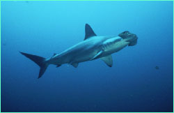 Though sometimes seen alone, hammerheads prefer the company of others.