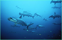 While at Cocos, hammerheads appear to be in a somnolant state.