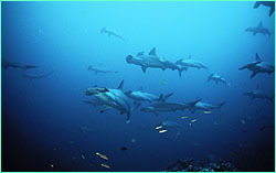 Where do hammerheads go when they leave Cocos Island for good?