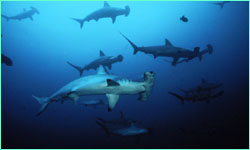 Scalloped hammerheads on the move.