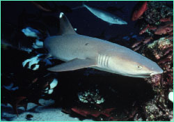 A whitetip cruises the reef edge