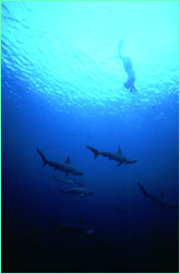 Klimley makes a breath-hold dive among hammerheads.