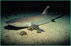 Whitetip reef shark at Cocos Island