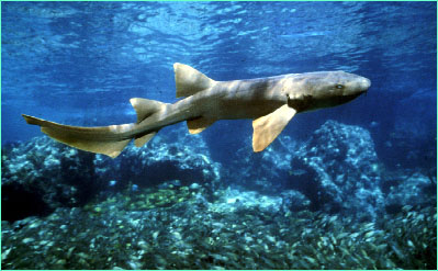 Nurse Shark picture 2