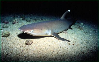 f8232c0e94 Whitetip reef shark