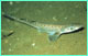 Blackmouth catshark