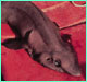 False catshark