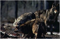 Several wolves feeding on downed animal