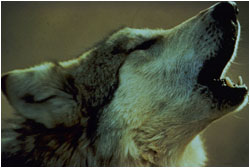 Closeup of wolf barking