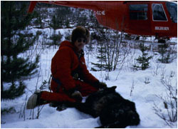 Man in snowy woods with immobilized wolf, helicopter nearby