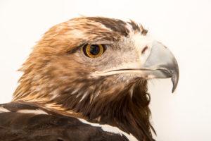 Spanish Imperial Eagle -