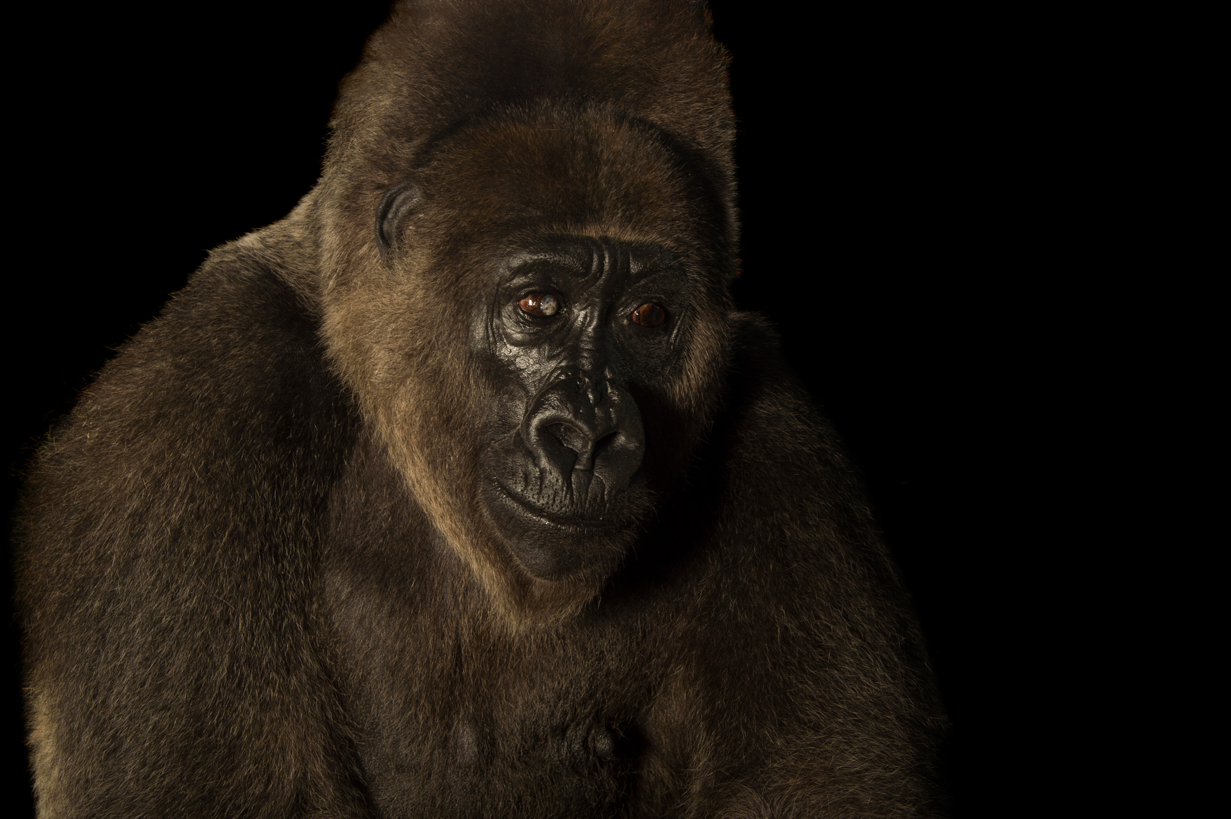 Cross River Gorilla - Gorilla gorilla diehli