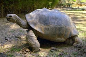 Aldabra Giant Tortoise -