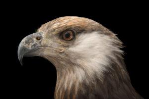 Madagascar Fish Eagle -