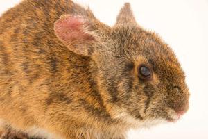 Lower Keys Marsh Rabbit -