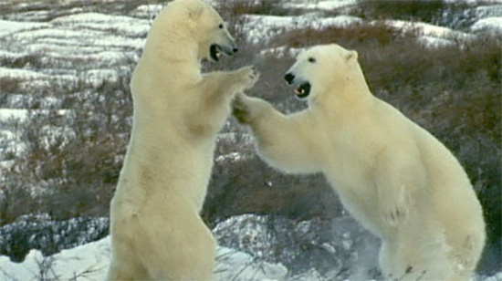 essay on polar bears The recent climate conference in bonn, germany, shined a light on one of the  most certain and serious impacts we expect from unabated.