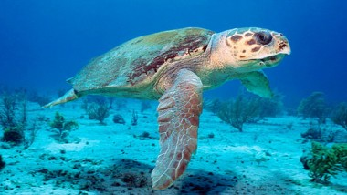 Loggerhead sea turtle essay