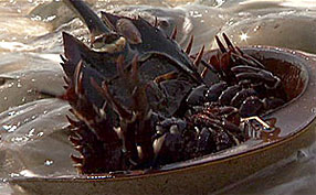The horseshoe crabs uses its tail as a rudder, and to help it turn over when it gets flipped upside-down.