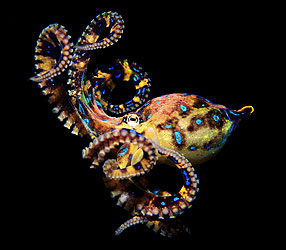 The blue-ringed octopus. photo © Gary Bell/PictureQuest
