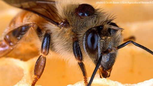 Animal Guide: Honeybee