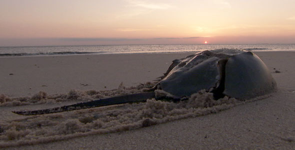 horseshoe crab at sunset