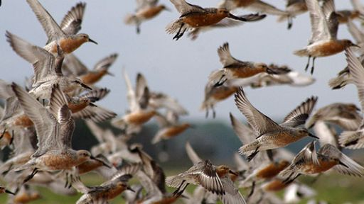 Why save the red knot?