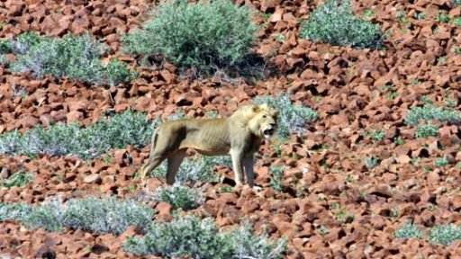 Why Save the Desert Lions?
