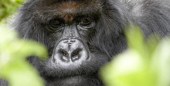 Titus, the Gorilla King