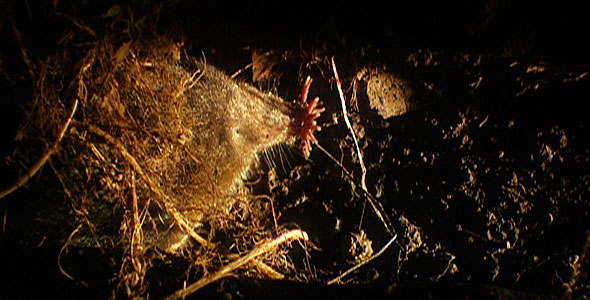 Star-nosed mole in a tunnel